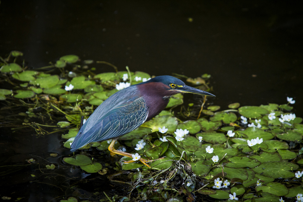 Green Heron  ( Butorides virescens )  Florida
