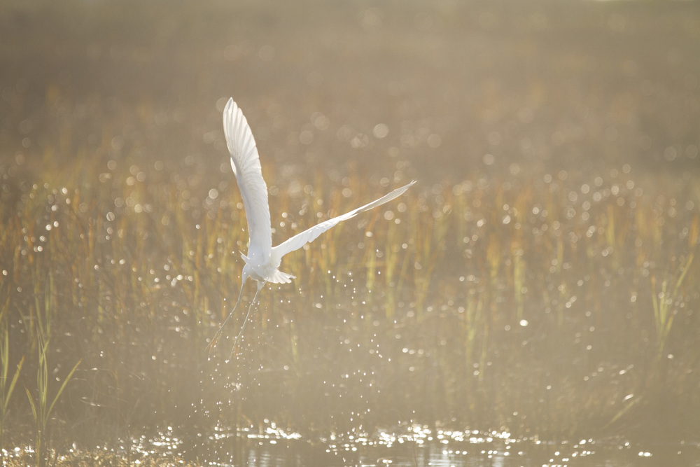 Great Egret  ( Ardea alba )  Texas