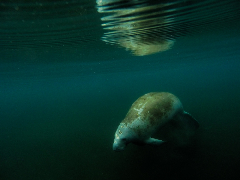 A west Indian manatee ( Trichechus manatus ) floats suspended in space , Silver Glen Spring, Florida.