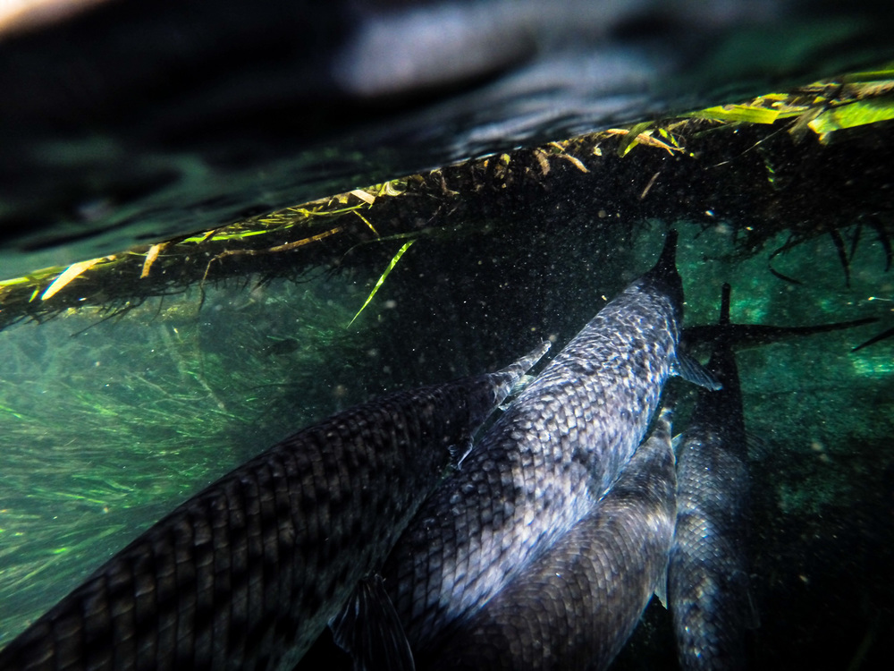Florida Gar, ( Lepisosteus platyrhincus ) bunch together under floating mats of vegetation competing for the best ambush spot.  Ichetucknee Spring, Florida.