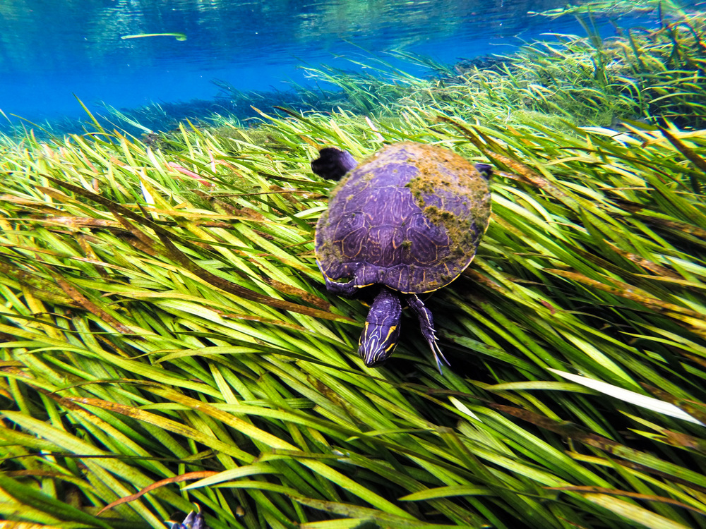 A river cooter, ( Pseudemys concinna ) swims across the top of eel grass ( Vallisneria ).  Ichetucknee Spring, Florida.