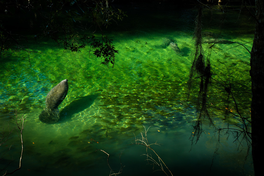 West Indian Manatees, ( Trichechus manatus ) enjoying the warm waters of Volusia Blue Spring, Florida.
