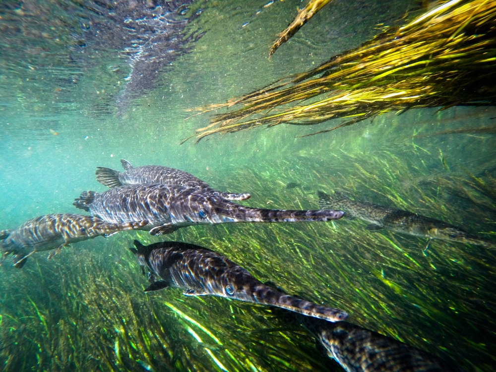Primitive looking Florida gar, ( Lepisosteus platyrhincus ) school while facing into the current.  Ichetucknee Spring, Florida.