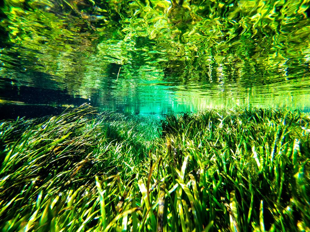 Eel Grass  ( Vallisneria)   Ichetucknee River, Florida