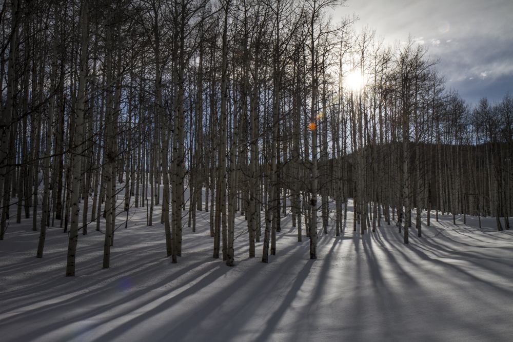 Aspen trees and shadows.