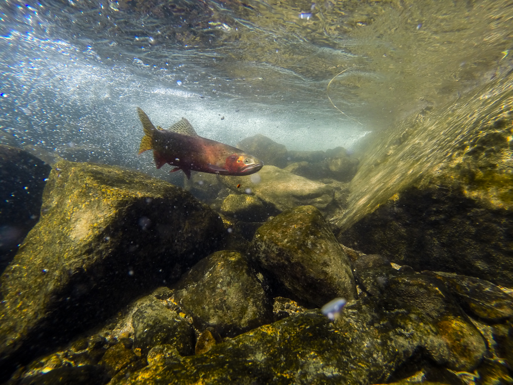A male greenback cutthroat swims in the inlet of Arrowhead Lake.