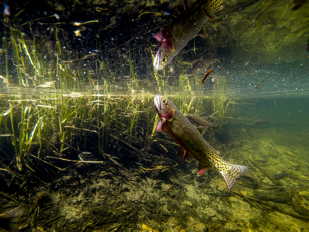 A greenback cutthroat feeding in Colorado's Rocky Mountain National Park.