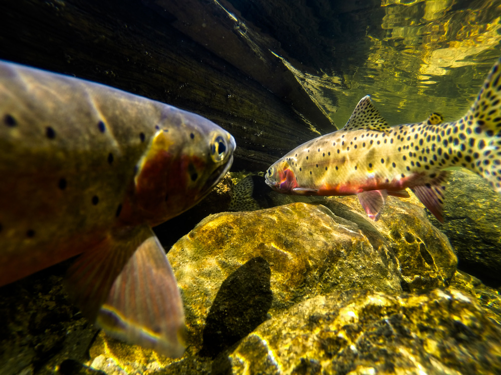 Greenback cutthroats in spawning colors.