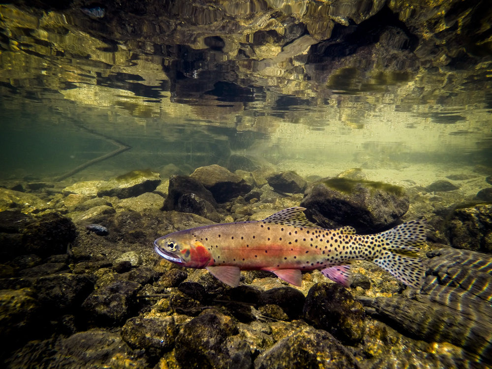A greenback cutthroat in spawning colors.