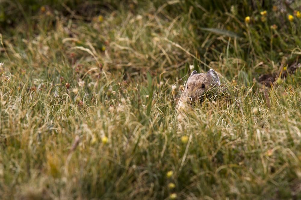 Pika  (Ochonta princeps)  Rocky Mountain National Park, Colorado