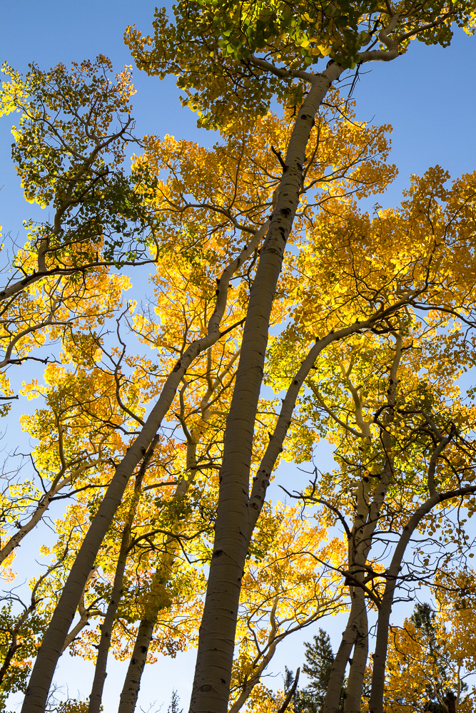 Back-lit aspen near the Bierstadt Lake trail.