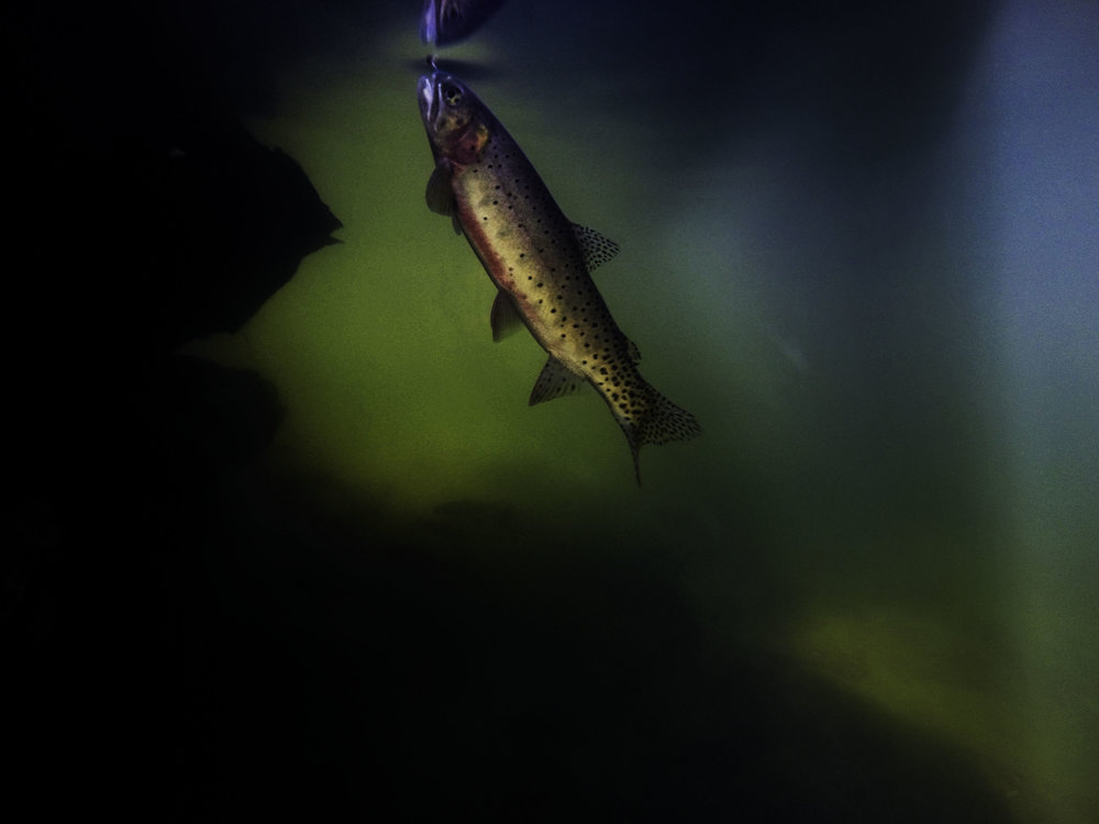 This is one of my favorite underwater trout images. Notice how the surface is just starting to boil as the rising trout approaches the fly on the surface?