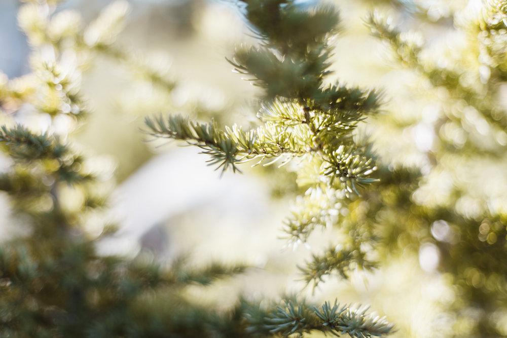 craterlake-trees-9368.jpg