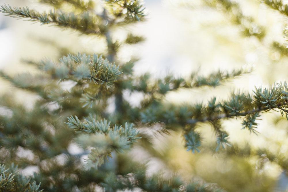 craterlake-trees-9371.jpg