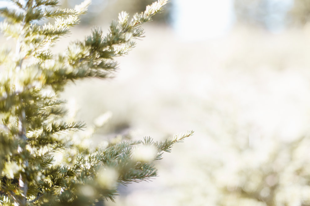 craterlake-trees-9373.jpg