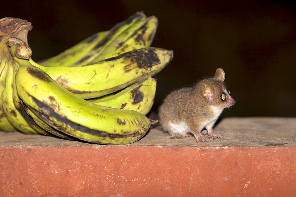 T_Steffens_Lemur 1.jpg