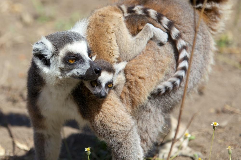 T_Steffens_Lemur 2.jpg