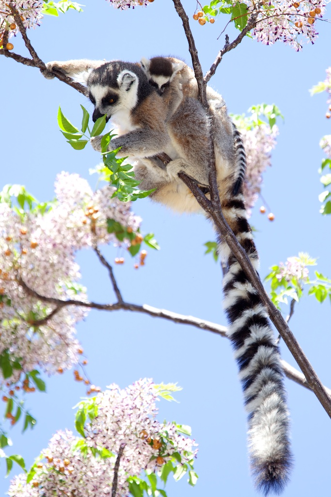 T_Steffens_Lemur 3.jpg