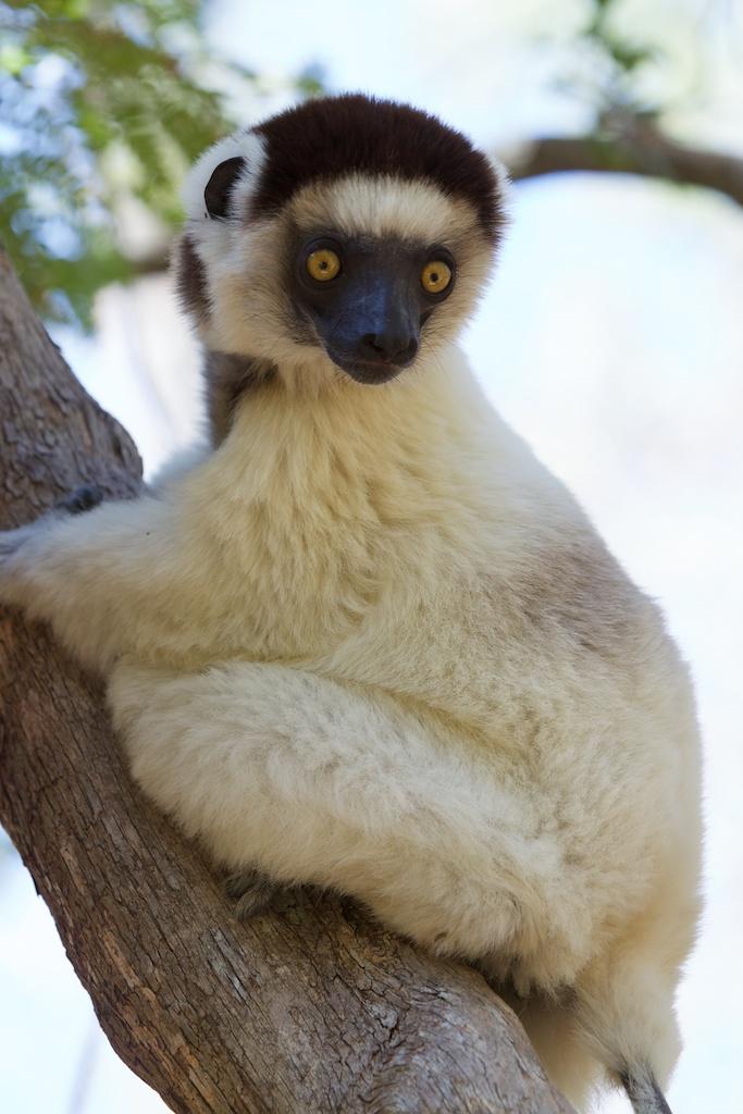 T_Steffens_Lemur 5.jpg