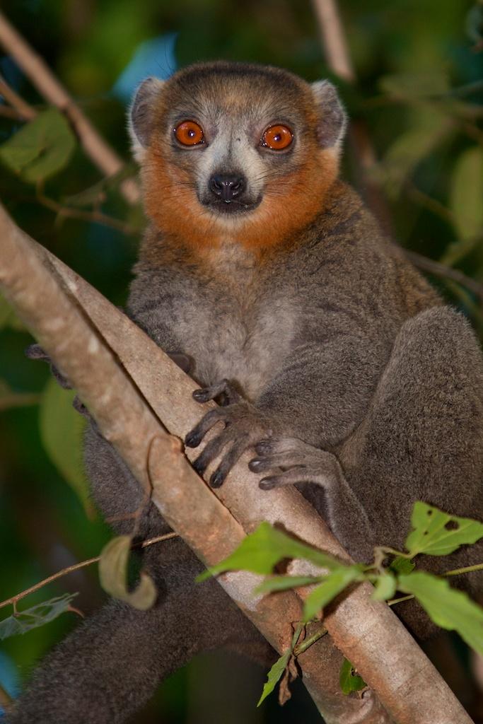 T_Steffens_Lemur 10.jpg
