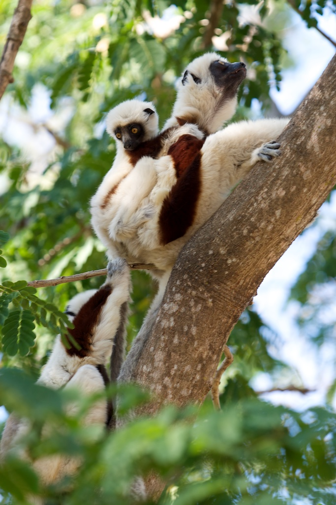 T_Steffens_Lemur 15.jpg