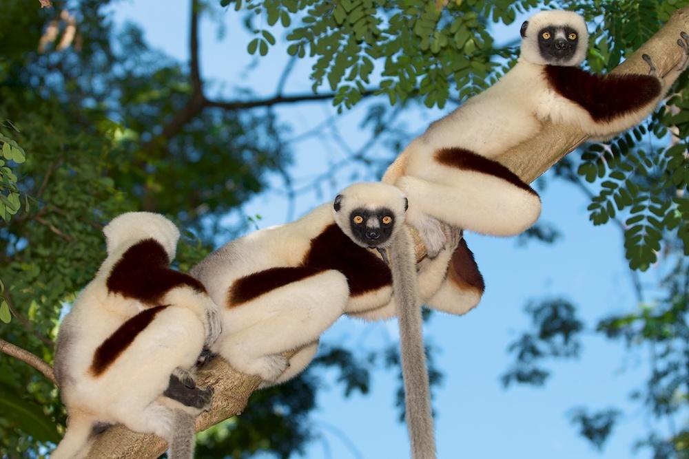 T_Steffens_Lemur 17.jpg
