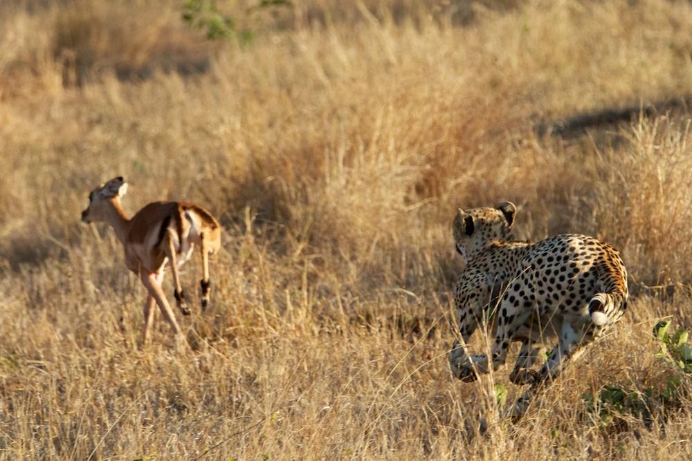 T_Steffens_Cheetahs 3.jpg