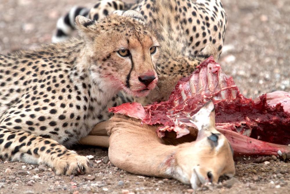 T_Steffens_Cheetahs 5.jpg