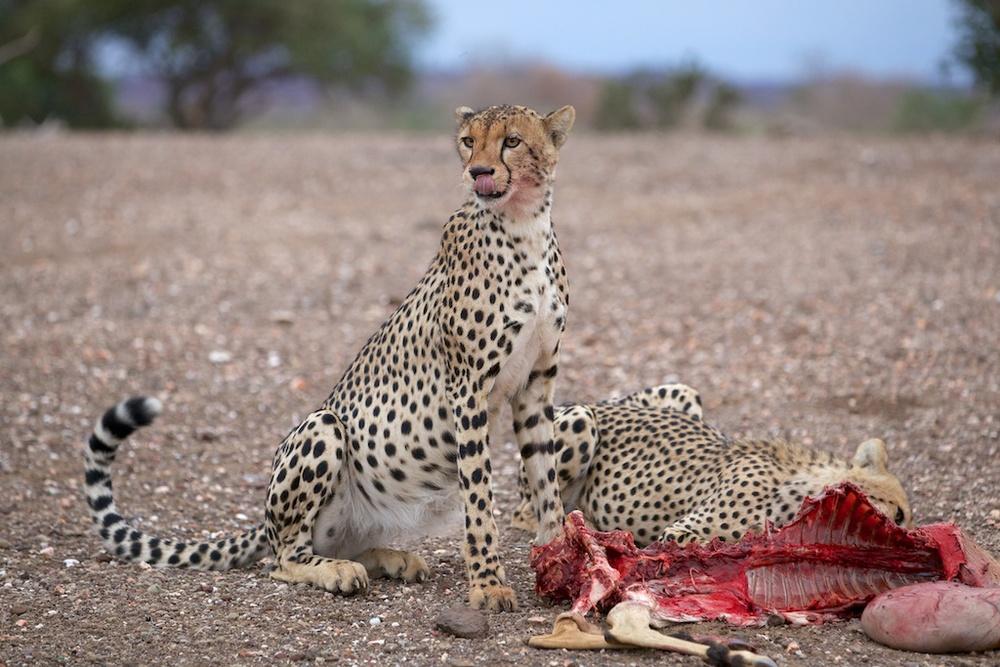 T_Steffens_Cheetahs 6.jpg