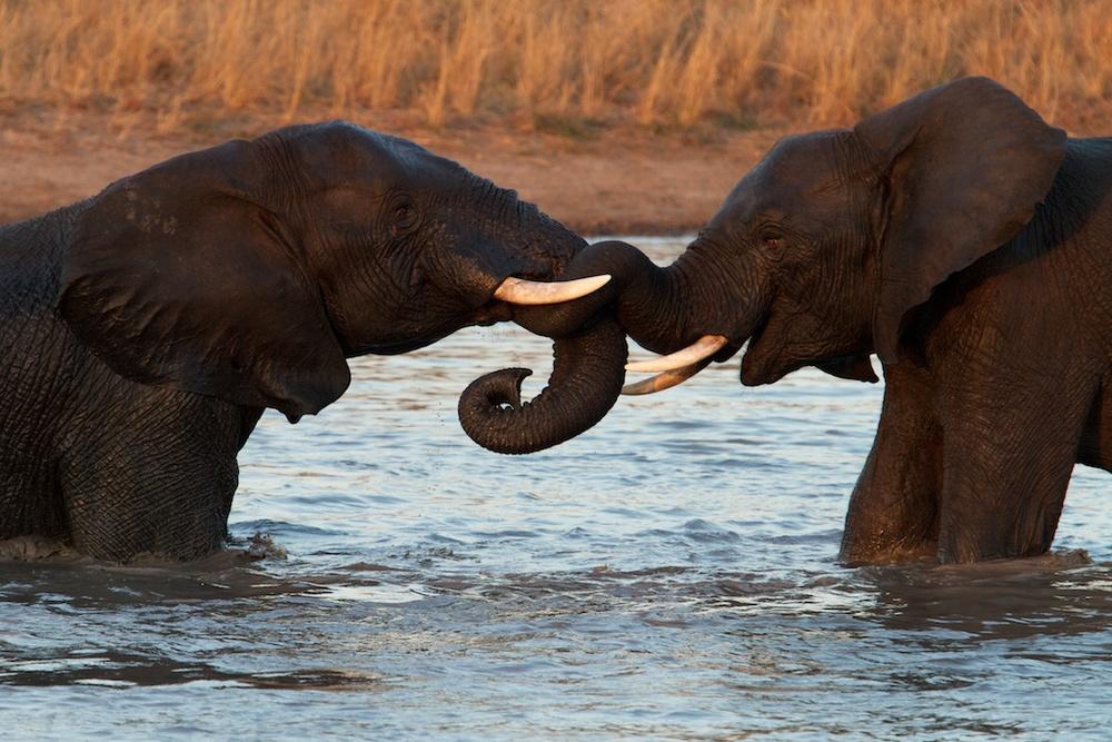 T_Steffens_elephants 2.jpg