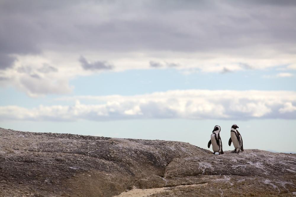 T_Steffens_Penguins 1.jpg