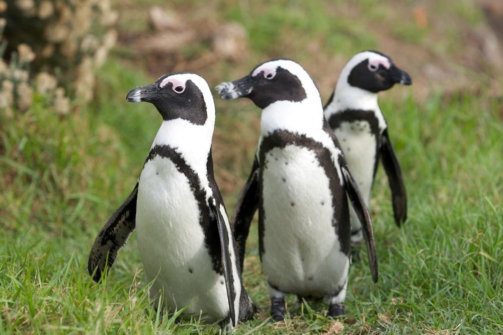 T_Steffens_Penguins 11.jpg
