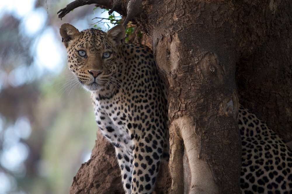 T_Steffens_Leopards 1.jpg