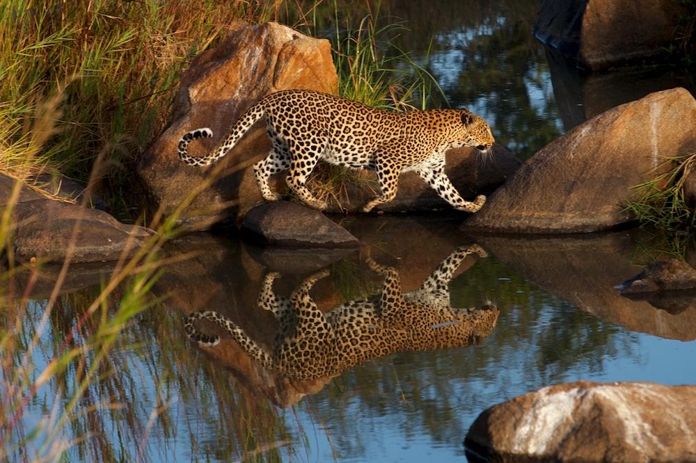 T_Steffens_Leopards 4.jpg