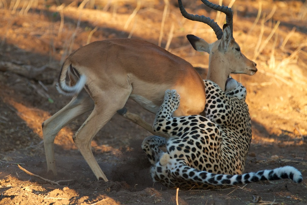 T_Steffens_Leopards 5.jpg
