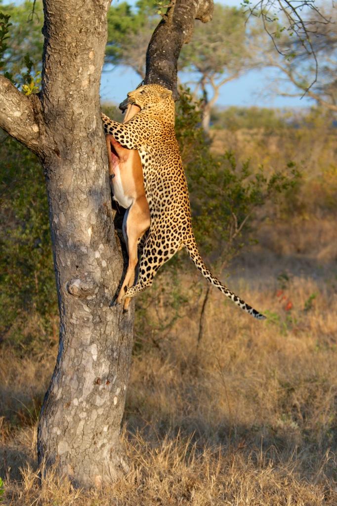 T_Steffens_Leopards 7.jpg