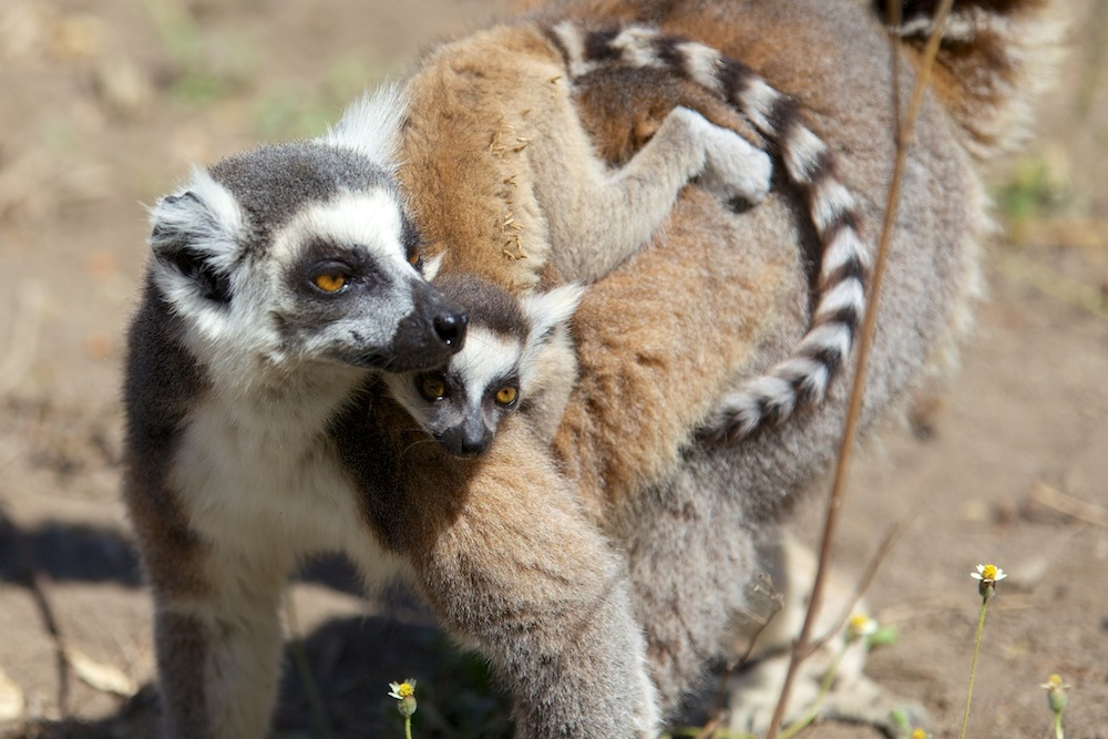 Ring tailed lemurs are the inspiration behind King Julian in the Movie Madagascar. However these lemurs are a little smarter than he is. Photo by Travis Steffens