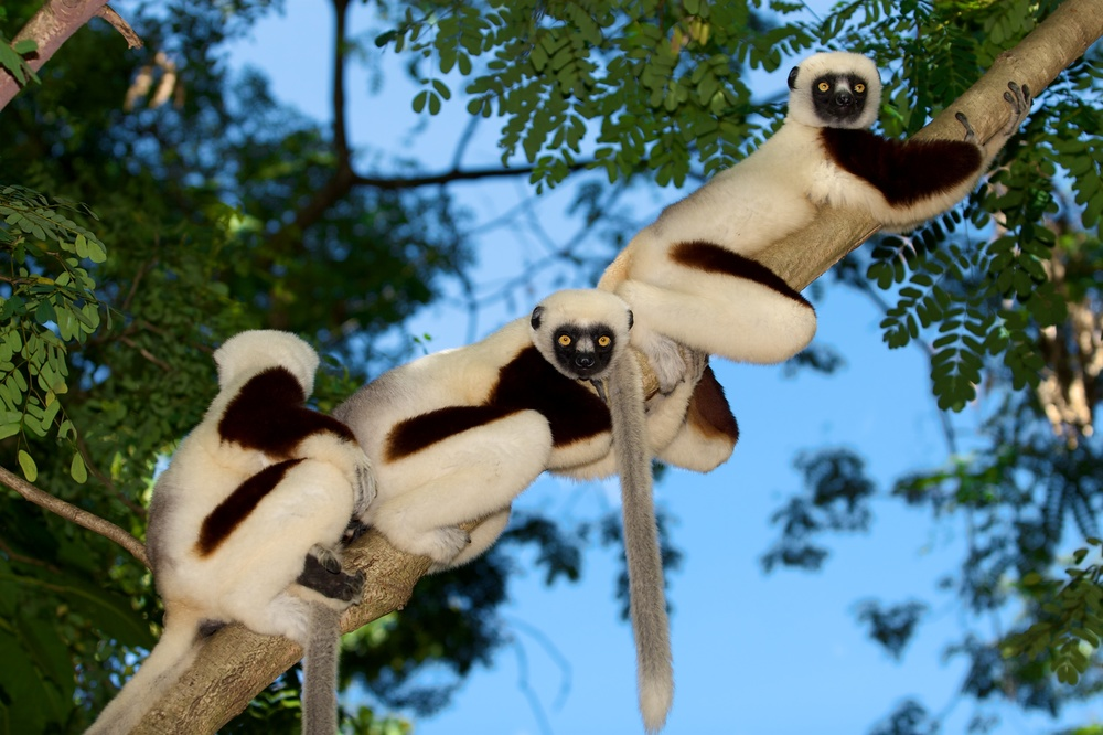 Group of Coquerel's sifaka. Photo by Travis Steffens