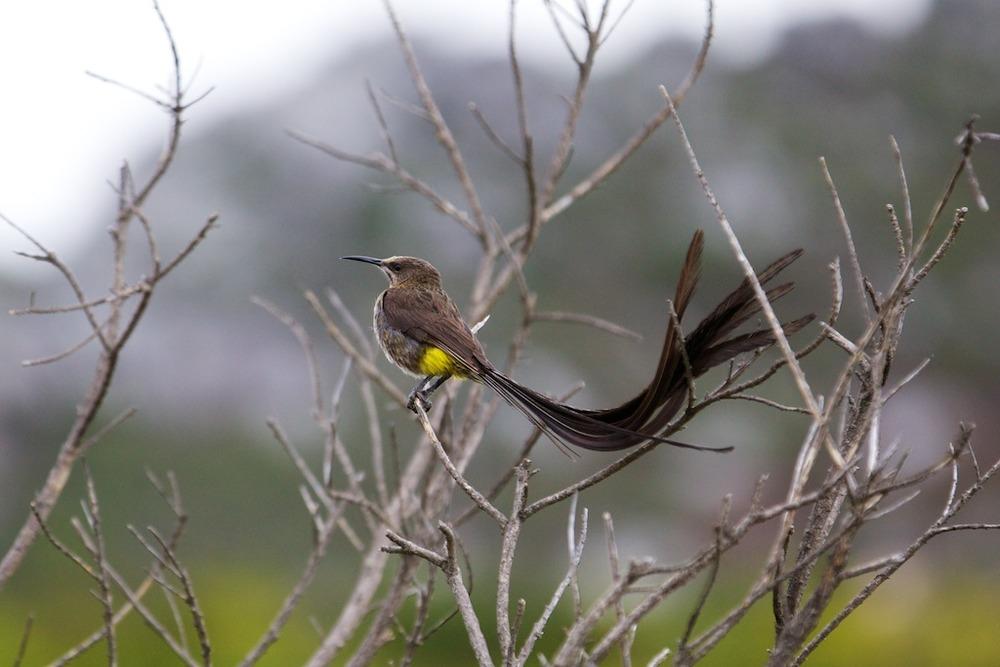 Sugarbird.jpg