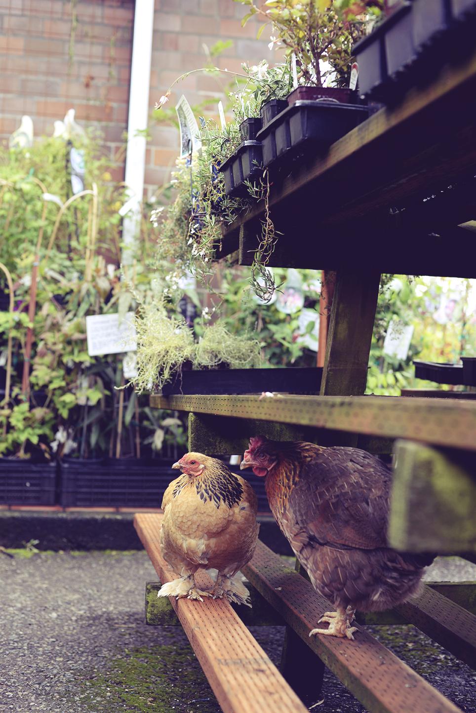 Chickens2.jpg