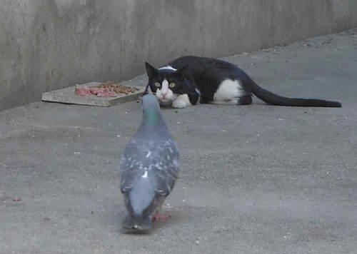Cat Among Pigeons