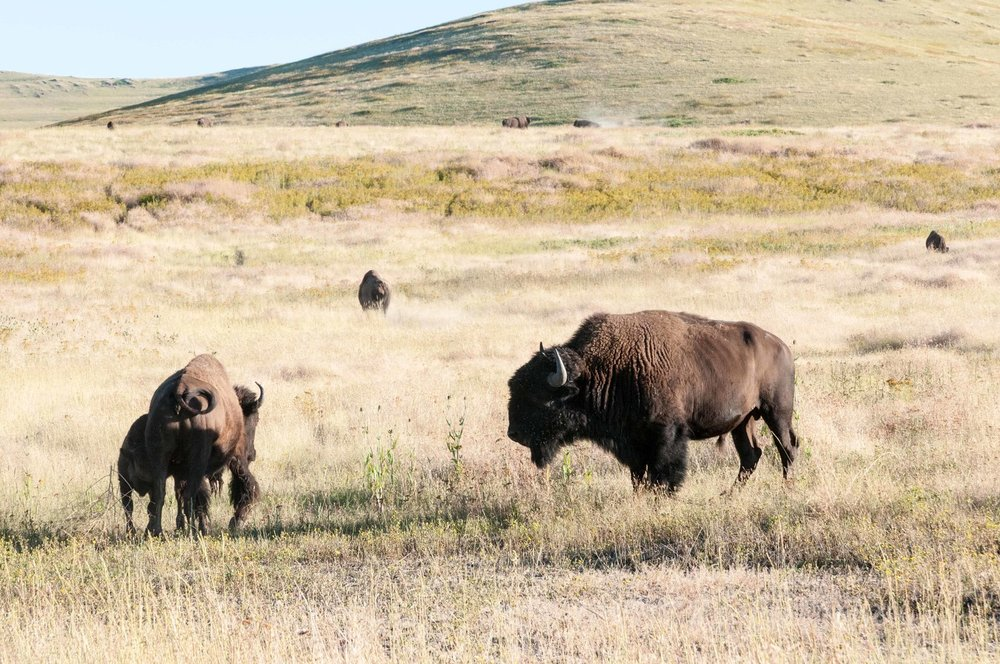 russian-olive-national-bison-range.jpeg