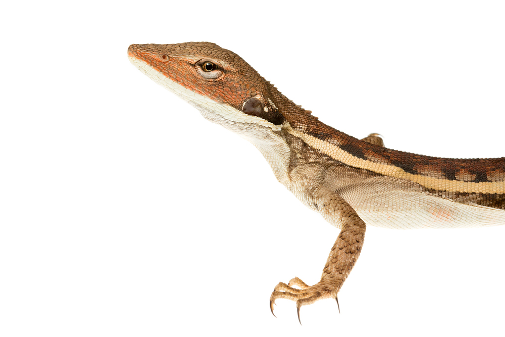 Long-nosed dragon (Lophognathus longirostris)