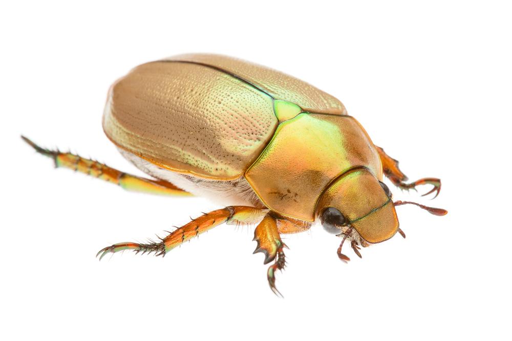 Christmas Beetle (Anoplognathus macleayi aurora)