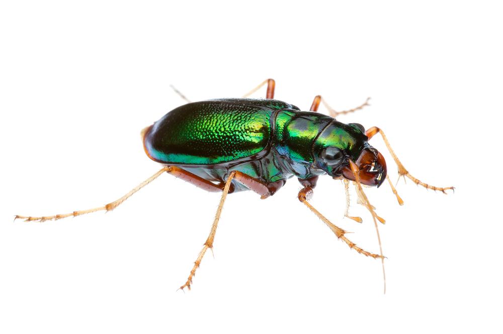 Green Tiger Beetle (Megacephala corpulenta)