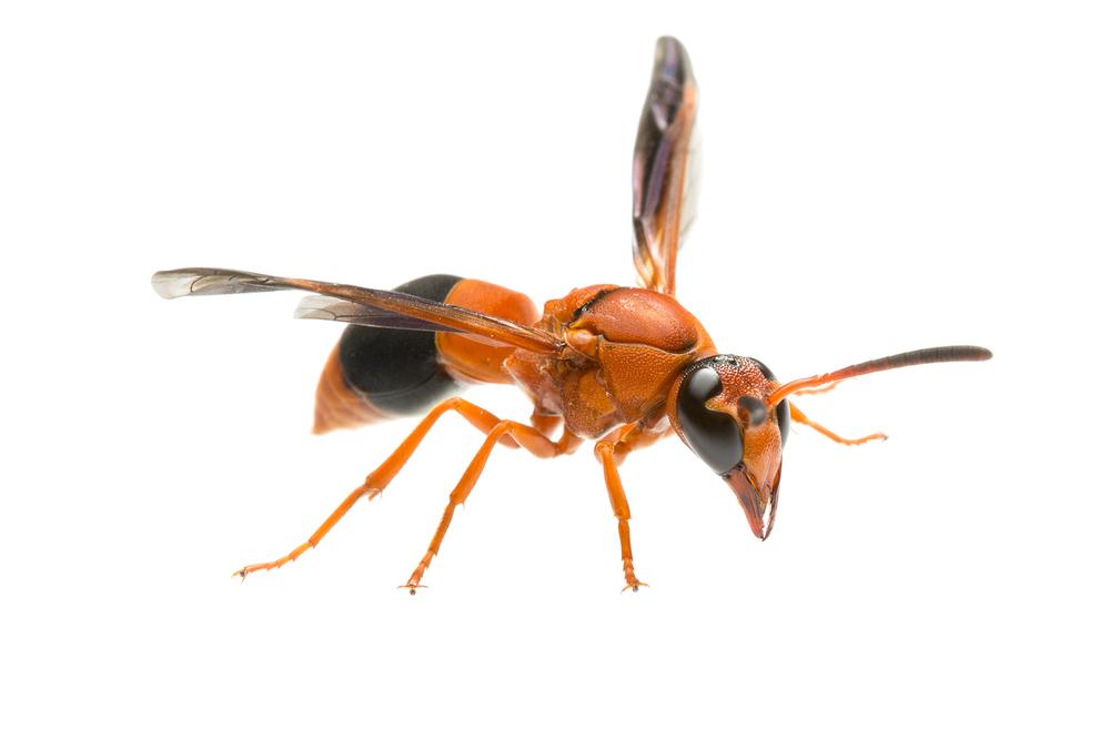 Potter wasp (Abispa ephippium)