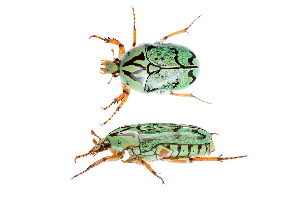 Inscripta Flower Beetle (Eupoecila inscripta)