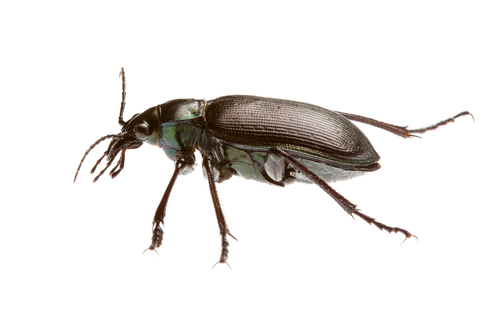 Stink Beetle (Calosoma oceanicum)
