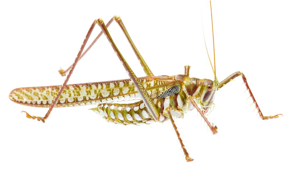 Spotted Predatory Katydid (Chlorobalius leucoviridis)