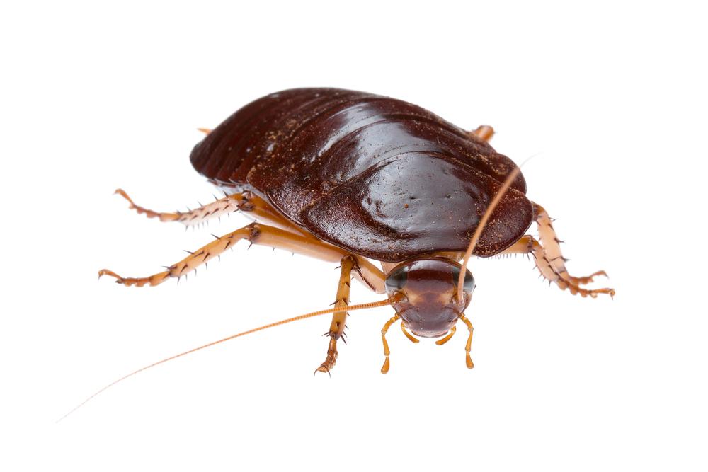 Bush Cockroach (Platyzosteria sp.)